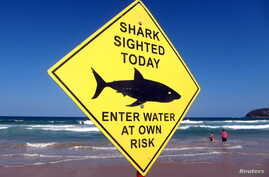 Swimmers walk into the surf next to a sign declaring a shark sighting on Sydney's Manly Beach, Australia, Nov. 24, 2015.