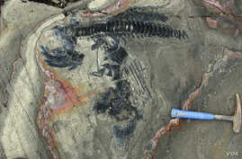 Articulated skeleton of an ichthyosaur from the Torres del Paine National Park, Chile. (Credit: W. Stinnesbeck)
