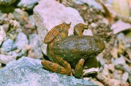 The skin of certain frogs, including this foothill yellow-legged frog, contains secretions that may lead to new antibiotics to fight infections that shrug off the effects of existing antibiotics.