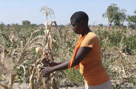 Mejury Tererai, 31, works in her maize field near Gokwe, Zimbabwe, May 20, 2015. Southern Africa has suffered one of its worst harvests in years due to a lack of rain, prompting concerns about food shortages across the region.