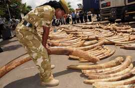 A Kenya Wildlife Service officer tests the weight of ivory tusks discovered at the Port of Mombasa in July 9, 2013.