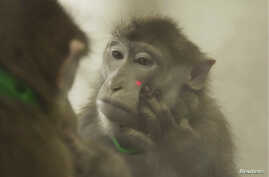 A rhesus monkey puts its hand near a laser light on its face as it looks at itself in the mirror, during experiments that showed that rhesus monkeys can learn to recognize themselves in the mirror, in this undated handout picture courtesy of Neng Gon
