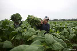 Farmers Andre Alvares, 60, (R), and Javier Sancho, 47, load a cart with fresh tobacco leaves to be taken to a curing barn at a tobacco farm in Cuba's western province of Pinar del Rio, Jan. 26, 2016.