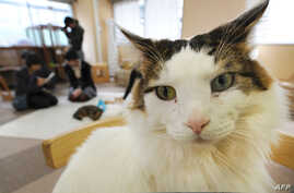 FILE - Japanese youths fondling cats at a 'cat cafe' in Tokyo, Feb. 23, 2012. The Environment Ministry's animal rights panel said Wednesday that the cats will be allowed to hang out two hours later than the old guidelines allowed.