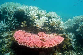 Australian Institute of Marine Science image shows bleaching on a coral reef at Halfway Island in Australia's Great Barrier Reef which lost more than half its coral cover in the past 27 years due to storms, poisonous starfish and bleaching linked to