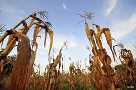 Failed maize crops in Ghana's Upper West Region, which has suffered failed rains and rising temperatures. In the future, large parts of Africa will no longer be suitable for growing maize. Sorghum, millet and cassava could become better options. (Nei