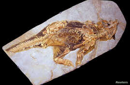 A fossil of Psittacosaurus, a little dinosaur with a parrot-like beak and bristles on its tail that roamed thick forests in China about 120 million years ago is shown in this image released Sept. 15, 2016. (Courtesy Jakob Vinther/University of Bristo