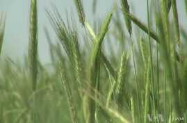 Farmers Control Weeds with Plants Not Pesticides