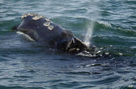FILE - A North Atlantic right whale feeds on the surface of Cape Cod bay off the coast of Plymouth, Mass., March 28, 2018.