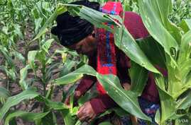 Farmer Violet Mloyi checks what the fall armyworm has done to her maize crop in just three days, in Gokwe, Zimbabwe, Feb, 2017. (S. Mhofu/VOA)