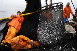 Fishermen pull in a net full of anchovies from the Pacific Ocean. Catches have declined since the late 90s. Now, a new study finds that countries are underreporting their fish catches. This could threaten the future of fisheries around the world.