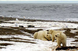 FILE - A polar bear sow and two cubs are seen on the Beaufort Sea coast within the 1002 Area of the Arctic National Wildlife Refuge in this undated handout photo provided by the U.S. Fish and Wildlife Service Alaska Image Library on December 21, 2005...