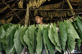 A worker prepares tobacco leaves for drying in Deli Serdang district in Indonesia's North Sumatra province, May 24, 2010.