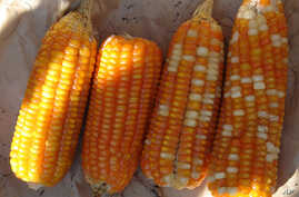 Vitamin A-enriched orange maize is a possible new weapon in the fight against malnutrition among the world's poor.