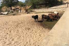 Cattle drink water from a well, which has been dug in the riverbed of Mudzi River. The Zimbabwe government says more than 10,000 livestock have died as a result of the El Nino drought. (S. Mhofu/VOA)