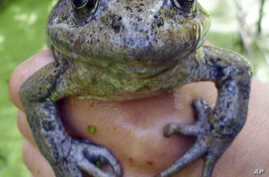 This March 20, 2017, photo from the National Park Service shows a California red-legged frog, found in the Santa Monica Mountains near Los Angeles.