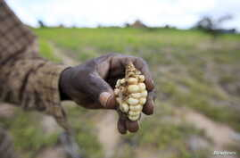 A Zimbabwean subsistence farmer holds a stunted maize cob in his field outside Harare, Jan. 20, 2016.