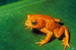 Last seen in 1989, the Costa Rican Native Golden toad went from abundant to extinct in a little over a year.