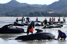 Volunteers try to assist some more stranded pilot whales that came to shore in the afternoon after one of the country's largest recorded mass whale strandings, in Golden Bay, at the top of New Zealand's South Island, February 11, 2017.