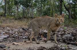 Jungle cat photographed in Thailand's Omkoi Wildlife Sanctuary in Chiang Mai, Jan. 2017.
