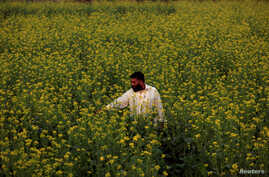 FILE - A farmer checks the state of his rapeseed flowers in a field in Charsadda, Pakistan, Dec. 7, 2016.