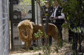 A former circus lion is released into an enclosure as Tim Phillips, ADI Campaigns Director, right, watches at Emoya Big Cat Sanctuary, in Vaalwater, northern, South Africa, May 1, 2016.