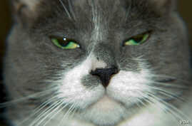 """Researchers have discovered the trigger for feline allergies. (Via <a href=""""http://www.flickr.com/photos/stark23x/"""">Flickr</a>"""