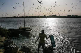 FILE - Birds circle above a Sudanese fisherman as he washes his day's catch in the early morning hours by the Nile River bank, in Omdurman, Khartoum, Sudan.