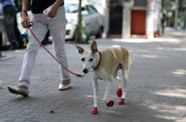 A dog wearing red shoes walks in the park as the coronavirus disease (COVID-19) outbreak continues, in Mexico City, Mexico…