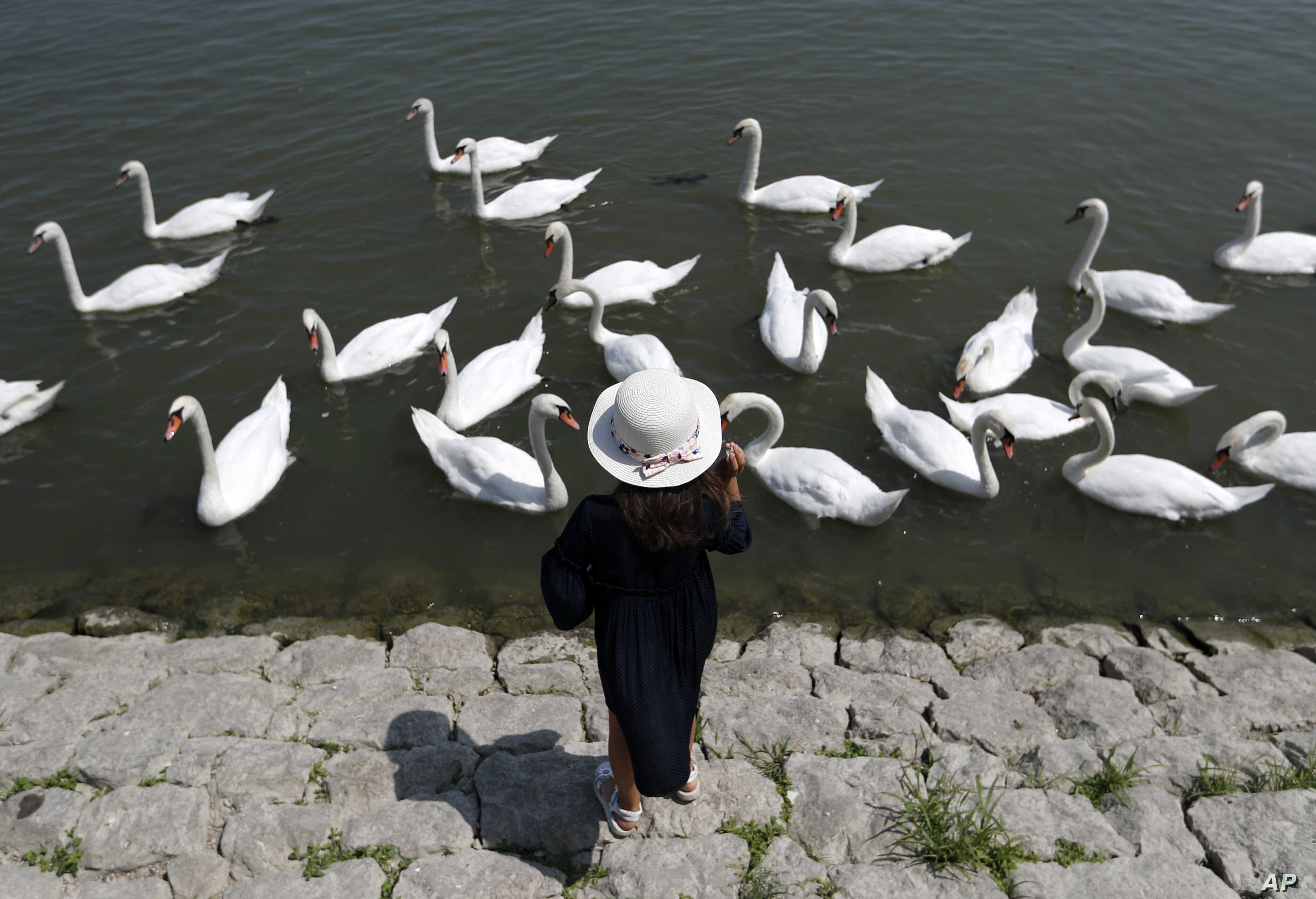 A girl feeds swans on the bank of the Danube river in Belgrade, Serbia.