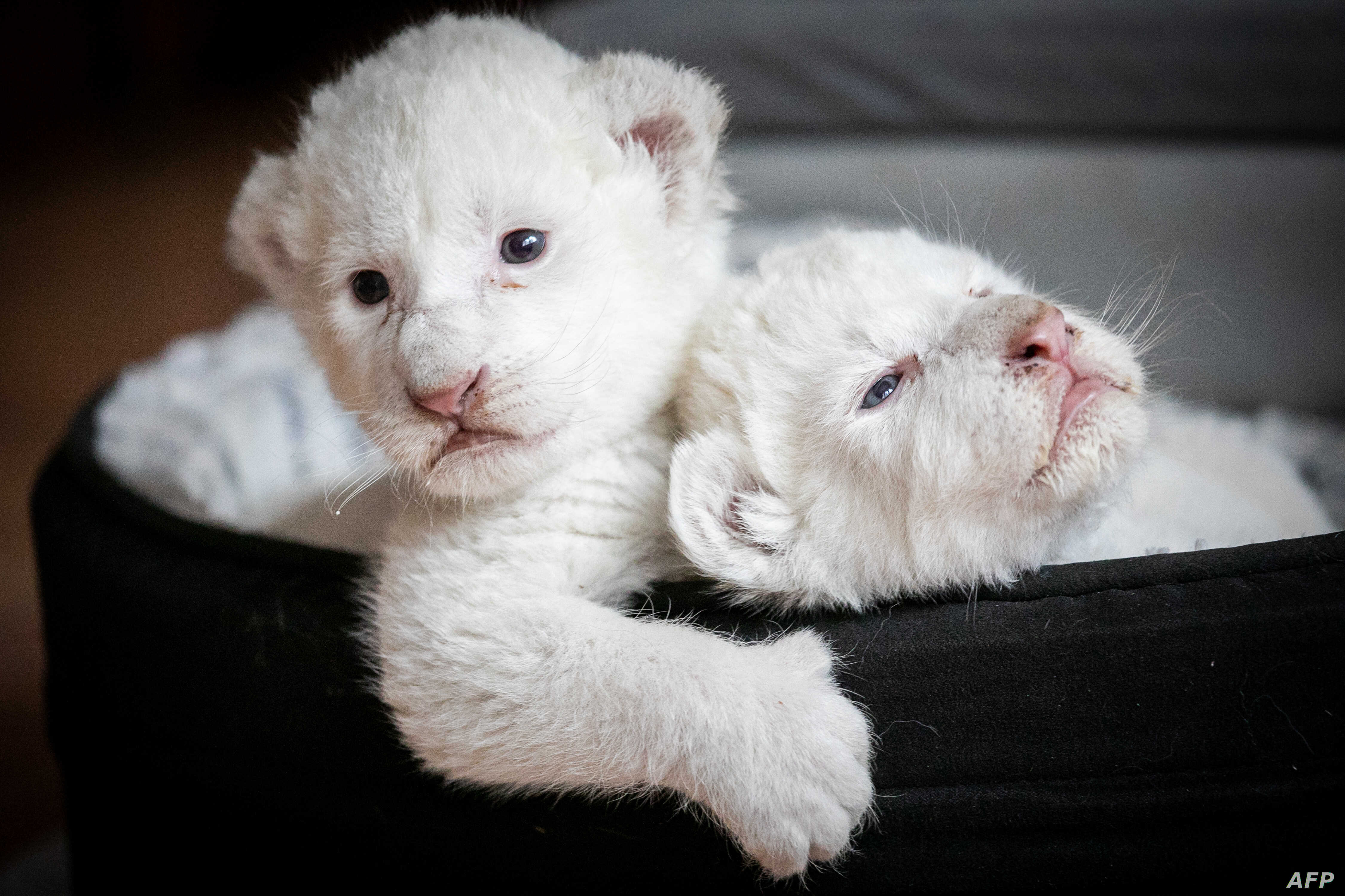 "Two white lion cubs, named Nala and Simba, lay in their basket at the association ""Caresse de tigre"", at La Mailleraye-sur-Seine, northwestern of France."