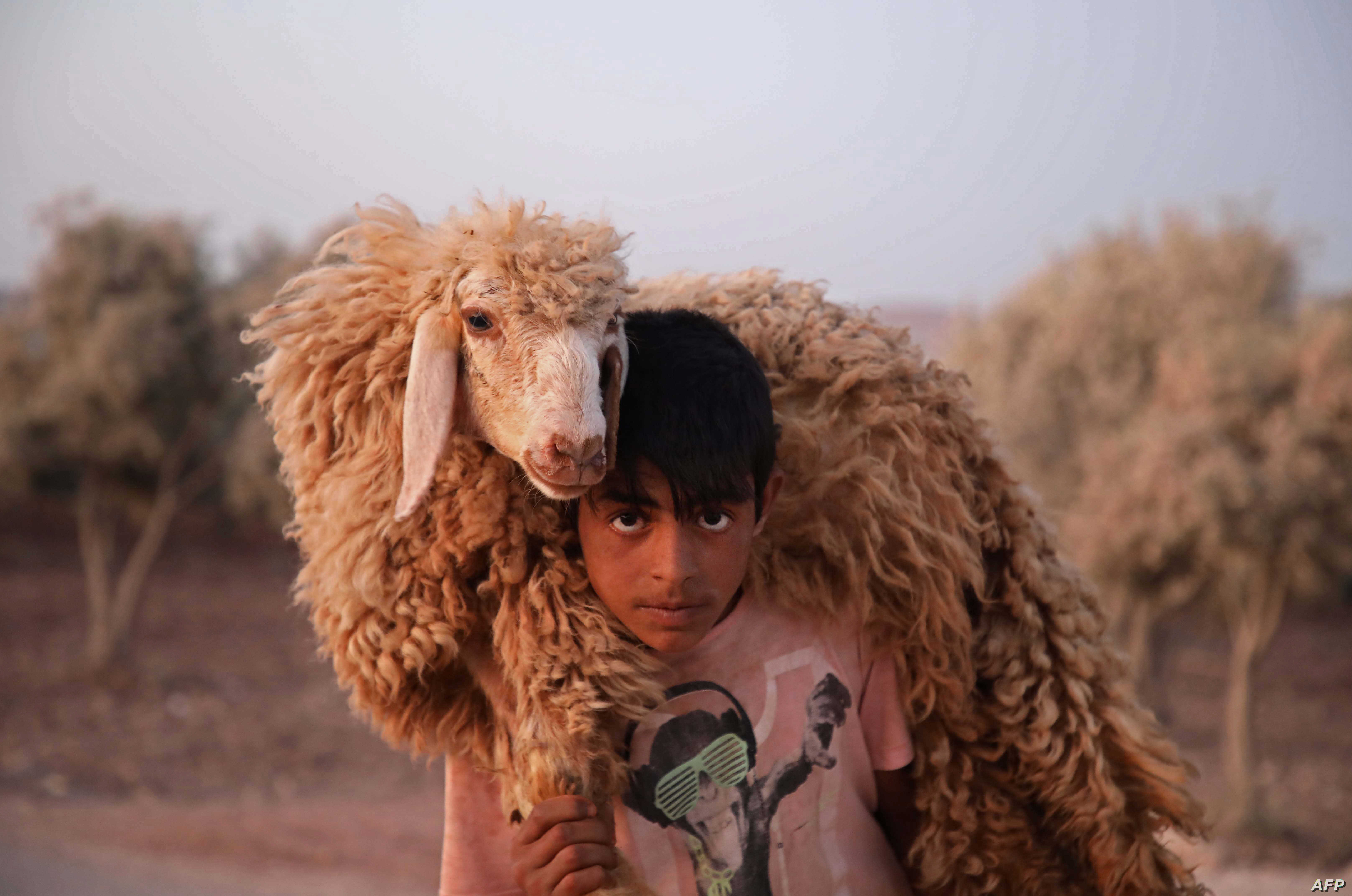A boy carries a sheep at the Atmah camp in the northwestern Idlib province, Syria, Aug. 07, 2019.