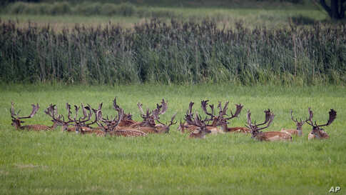 Deer rest on a meadow near the airport in Frankfurt, Germany.