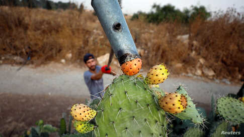 A Palestinian man picks up prickly cactus pears at a farm in the village of Nilin near Ramallah, in the Israeli-occupied West Bank.