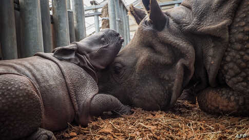 A young female Indian Rhinoceros plays with her mother named Henna, inside their internal enclosure, at the Beauval Zoo in Saint-Aignan-sur-Cher, central France, Sept. 2, 2019.