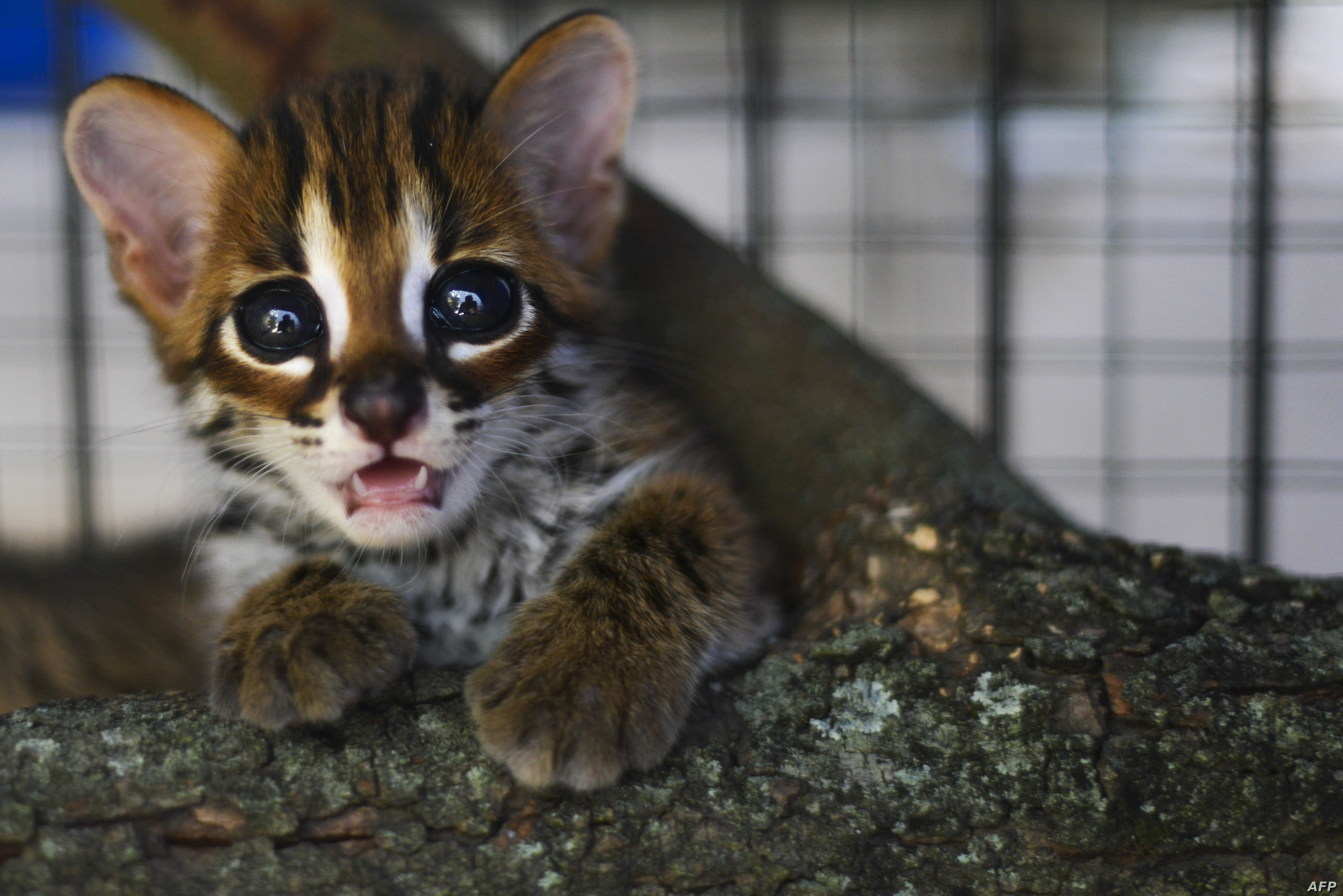 A rescued baby Asian leopard cat is seen at a natural resources conservation agency (BKSDA) in Banda Aceh, Indonesia.