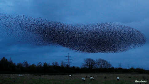 A murmuration of starlings is seen across the sky near the town of Gretna Green, Scotland, Britain.