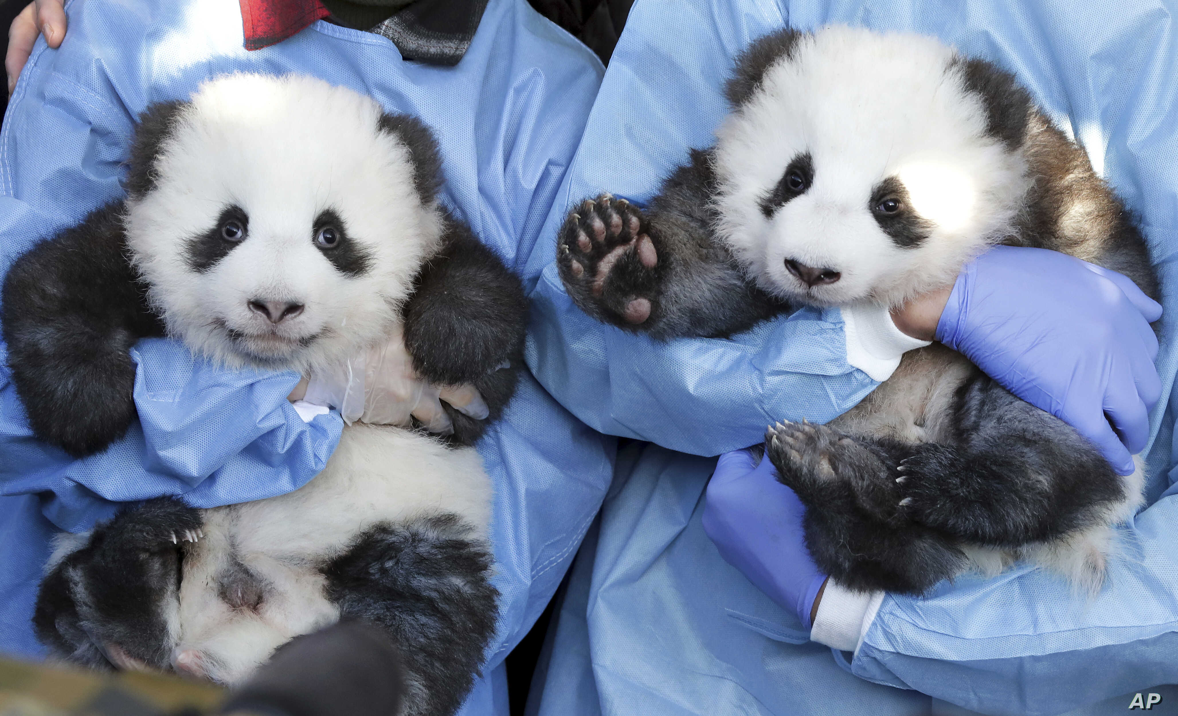Zookeeper hold 'Meng Yuan' and 'Meng Xiang' during a name-giving event for the young panda twins at the Berlin Zoo in Berlin, Germany.