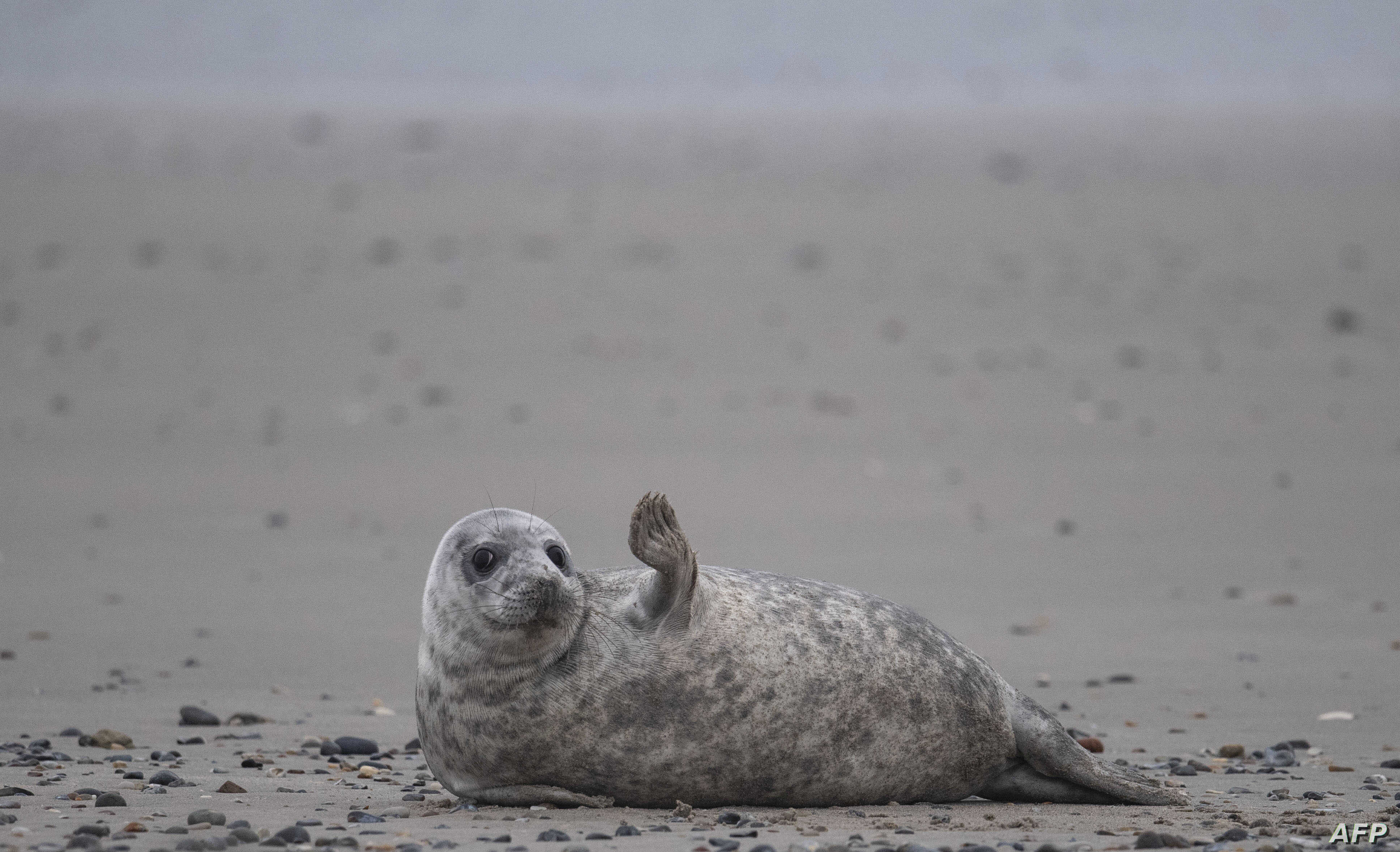 A young grey seal gestures as it lies on a beach on the North Sea island of Helgoland, Germany, Jan. 5, 2020.