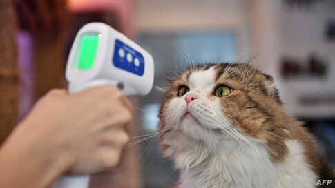 An employee takes the temperature of a cat at the re-opened Caturday Cat Cafe, which had been temporarily shuttered due to…
