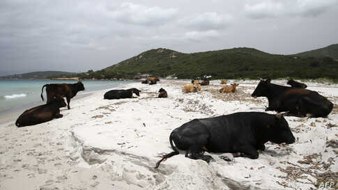 Wild cows lie on the sand at Mar e Sol beach in Porticcio, on the French Mediterranean island of Corsica, as beaches remain closed to curb the spread of the COVID-19.