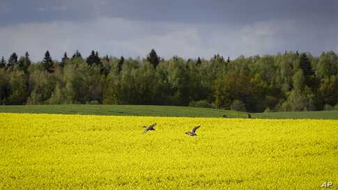A pair of ducks fly over a blossoming rape field on the outskirts of Minsk, Belarus, May 20, 2020.