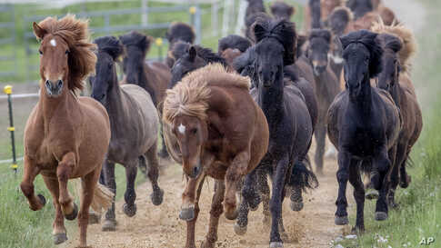 Icelandic horses are driven from their stable to a meadow on a stud farm in Wehrheim near Frankfurt, Germany.