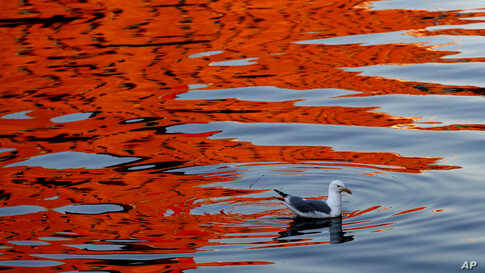 A gull swims as the reflection of a sunlit building colors the waters of Portland Harbor, in Portland, Maine.
