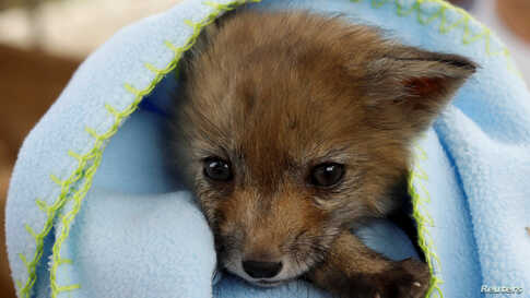 A female baby fox wrapped in a blanket is seen at the Animal Protective Association of Ronda (ARPA) after being found walking along a street by a villager in the village of El Gastor, at the province of Cadiz, near Ronda, Spain.