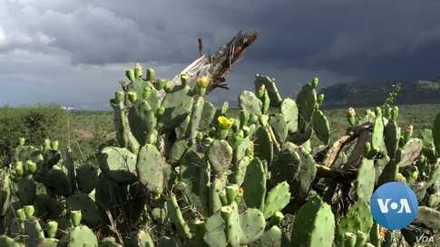 Kenyans Try to Stamp Out Problem Cactus with Microorganism