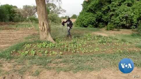 Niger's Farmers Nurture Gao Trees & Re-Green the Country