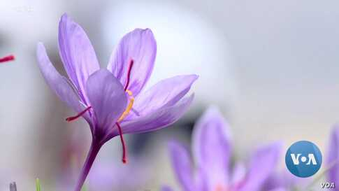 Iran Looking to Boost Exports of Its 'Red Gold' Saffron