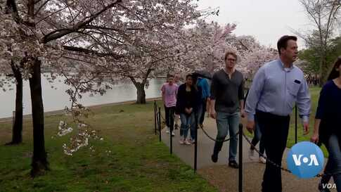 Washington Authorities Urging People to Reconsider Visits to See Cherry Blossoms