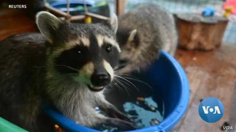 Russian Family Rescues and Raises Raccoons